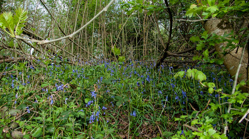 Bluebells in the chicken paradise