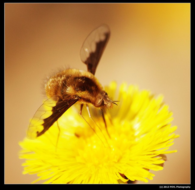 Greater Bee Fly (Bombylius major)