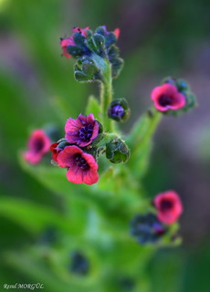 Purple Gromwell