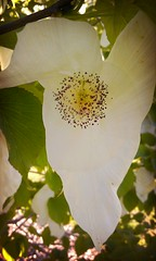 Flower of the Dove Tree