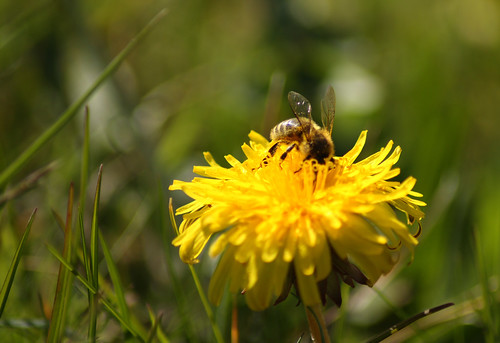 A bee on a dandelion by Helen in Wales