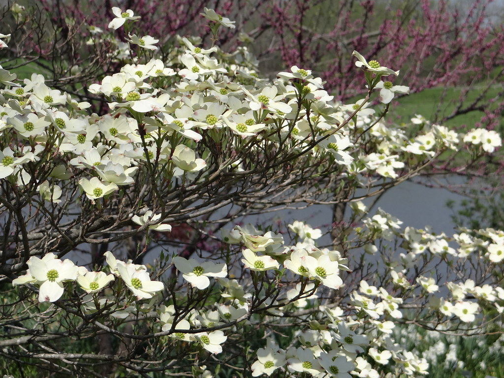 Flowers that bloom in the winter in missouri - This Is A Picture From Yesterday Of Cloud 9 Flowering Dogwood A Cultivar That Blooms Particularly Well In Cool Springs And One Of The Best Selections For