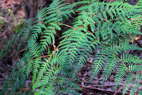 Pemberton - Gloucester Tree - Plants on the Trail