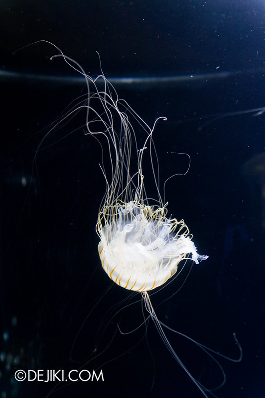 Marine Life Park Singapore - S.E.A. Aquarium - Sea Nettle 3