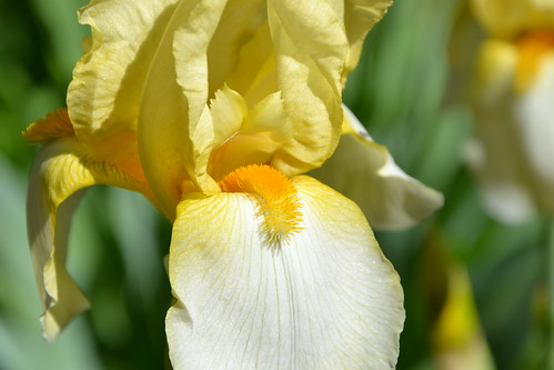 n°41 - Iris id.