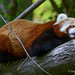 Red Panda - I see you! by Michigan Transplant