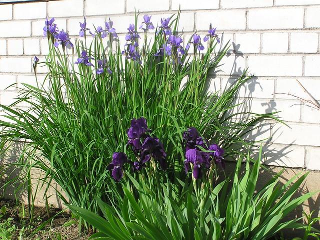 Iris sibirica & nameless garden iris