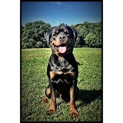 #Binni💖 #brooklyndog #brooklynrottweiler #rottweiler #rottweilersofinstagram #rottweilerclub #rottie #nycdog #brooklyndogwalker #doglover #cameraplus #dogoftheday #prospectparkdog #prospectpark #brooklyn