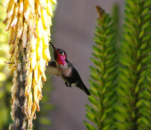 Hummingbird at an aloe 3c, 03/30/13