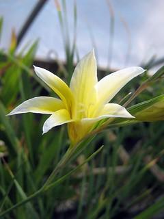 Gladiolus tenellus