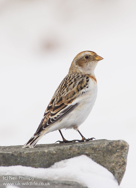 Snow bunting portrait