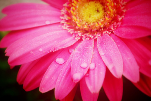 Pink Daisy with water-72
