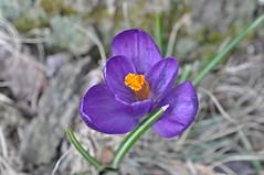 crocus, flower, purple, plant, macro photography, wildflower, flora, petal,