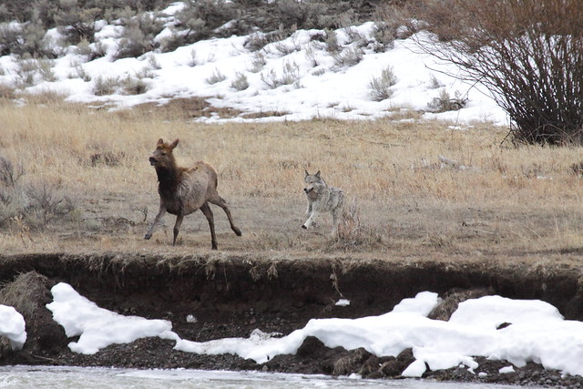 Wolf and Elk Battle