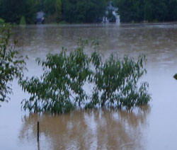 Flooded peach tree