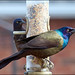 Grackles Synchronous Feeding by Jeannot7