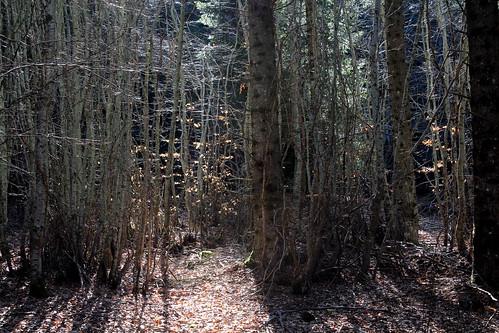 Hêtraie sapinière des Monts Breysse- 43 (19)
