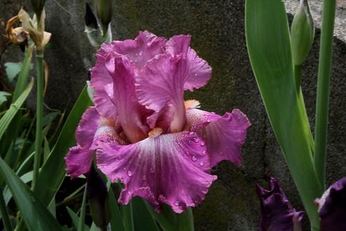 Nos Iris : floraisons 2012 - Page 2 8665586516_c355fd6e35