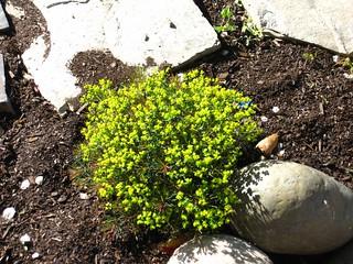 "Euphorbia cyparissias ""Fen's Ruby"""