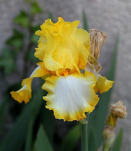Iris - floraisons 2011 - Page 2 8667780602_3c358600f8