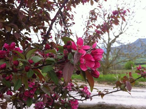 fiori fuxsia
