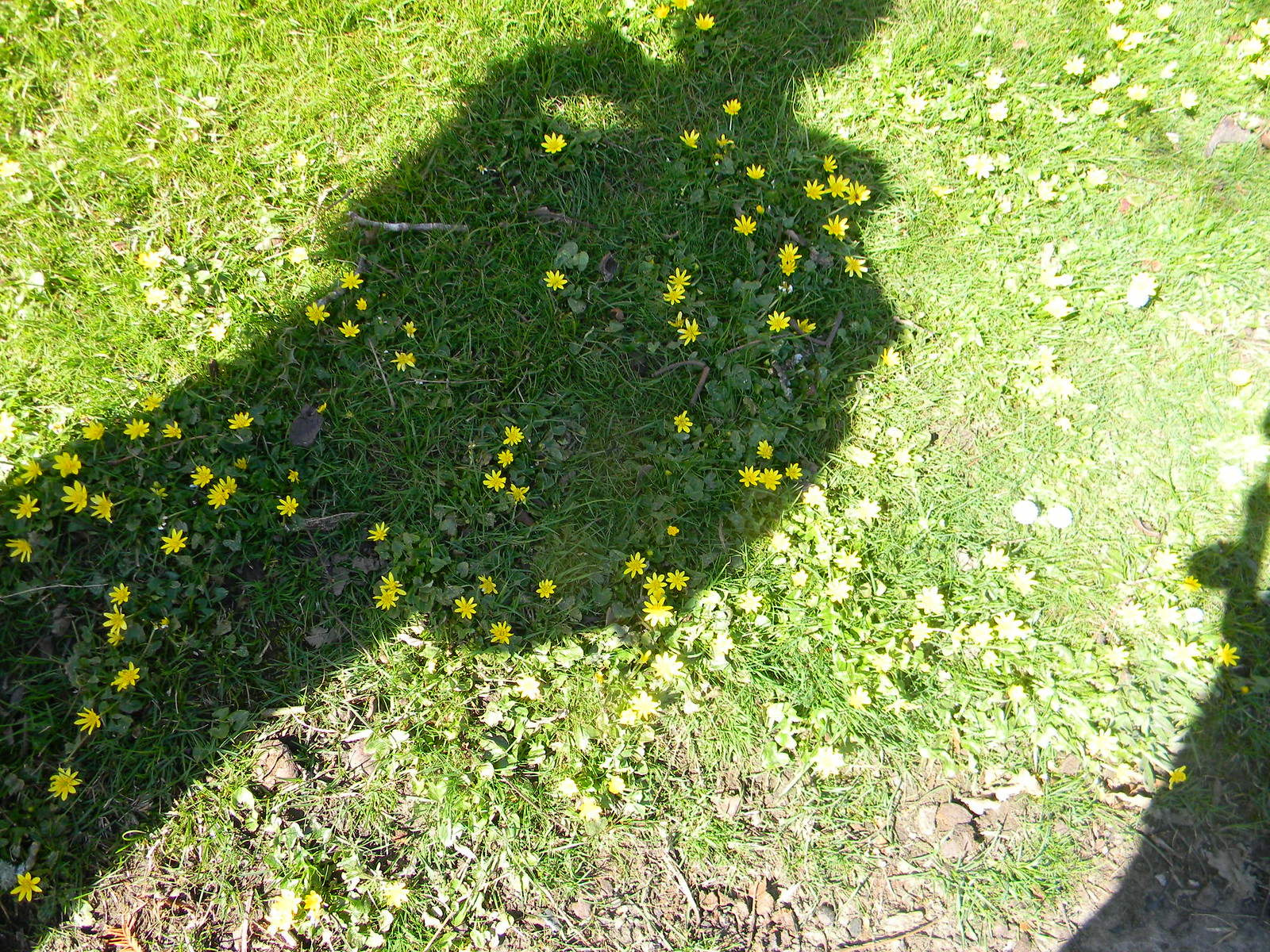 Starry shadow Robertsbridge to Battle Celandine, of course.