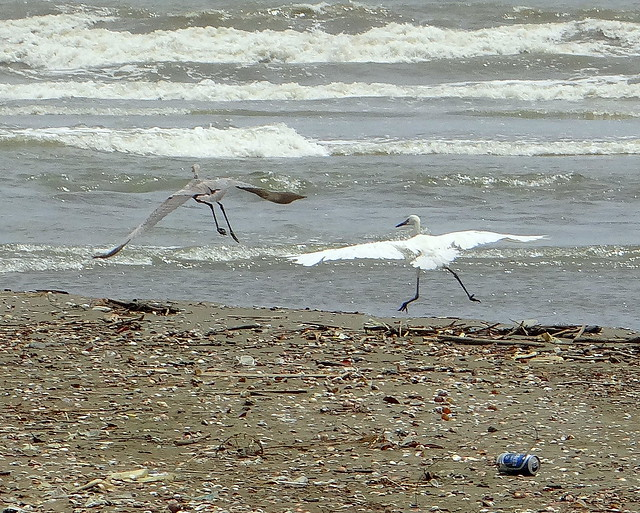 Garza rojiza [Reddish Egret] (Egretta rufescens rufescens) (Morfo blanco + Morfo oscuro [White morph + Dark morph])