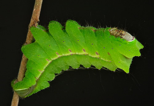 Final Instar Chinese Oak Silkmoth Caterpillar (Antheraea pernyi, Saturniidae)