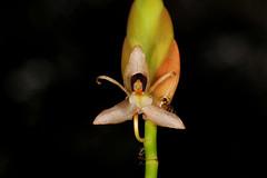 37 Geesinkorchis alaticallosa - Kipandi Butterfly Park 2011-11-04 04