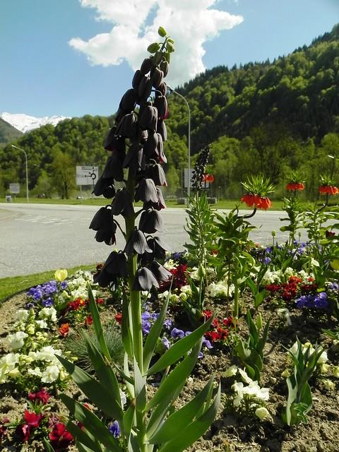 Fritillaire noire de Perse = Fritillaria Persica Adiyaman