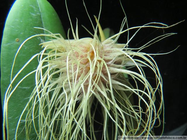 1378 - Bulbophyllum medusae