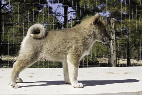 Ike-Kilbe-Pup4-Male(Day 40)-3