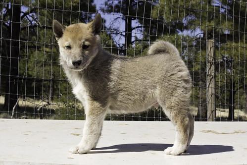 Ike-Kilbe-Pup4-Male(Day 40)-2