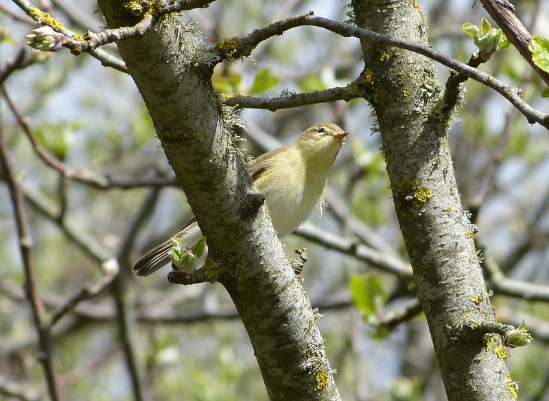 P1040732 - Willow Warbler, Kenfig