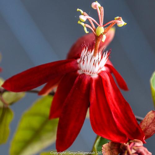 usa flower florida passiflora butterflyworld coconutcreek joanmarie nikkor1802000mmf3556 nikond5100 ©sergedaigneault