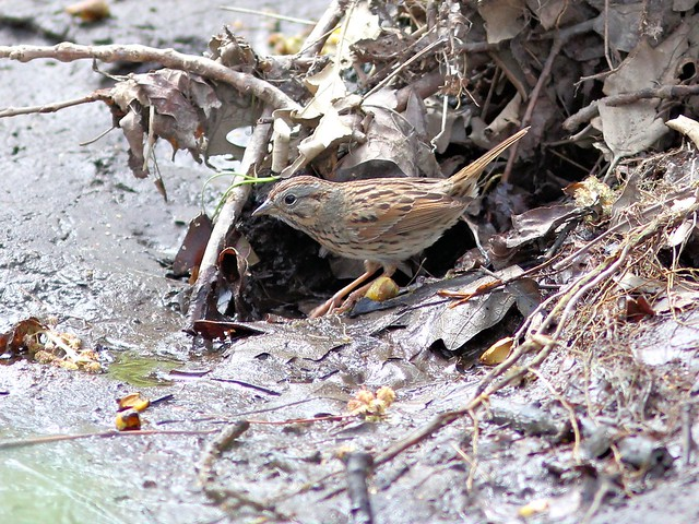 Lincoln's Sparrow 2-20130430