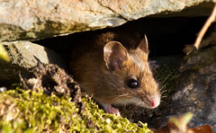 Voles , Rats and Mice..