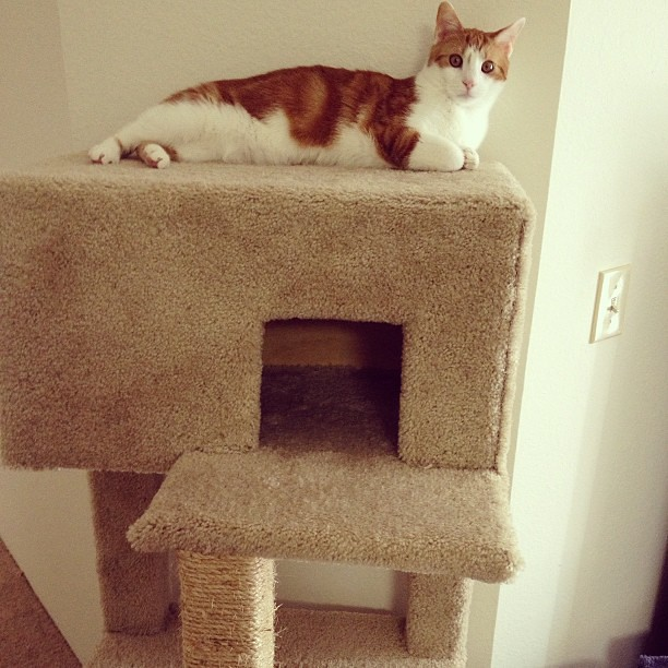 Seabass loves the cat condo his daddy built him! #cats #catsofinstagram #furbaby #handyman
