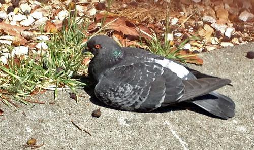 sitting pigeon.jpg