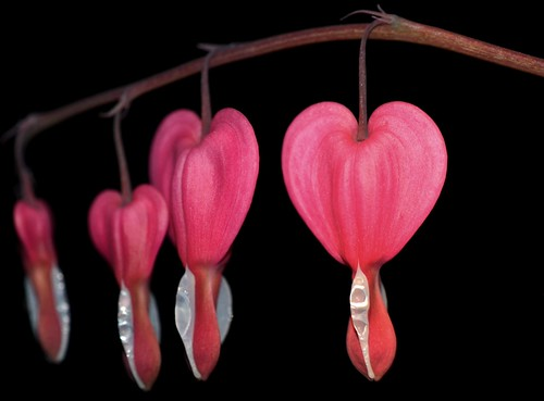 Bleeding Hearts at Night