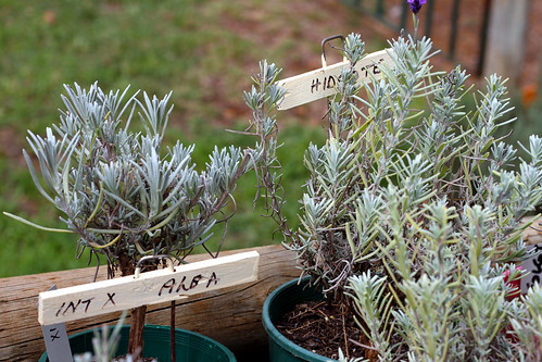 Balingup Lavender Farm - Plants for Sale