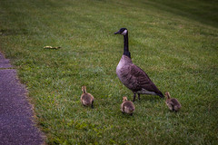 Mother Goose with her babies