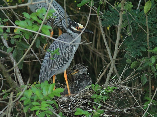 Yellow-crowned Night-Heron family 20130524