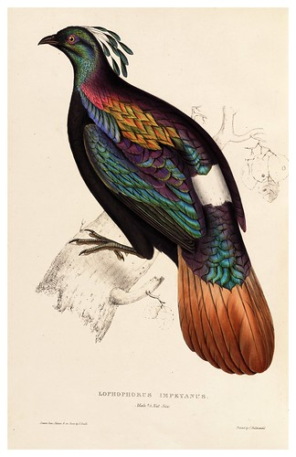 011-Lophophorus Impeyanus-A Century of Birds from the Himalaya Mountains-John Gould y Wm. Hart-1875-1888-Science Naturalis