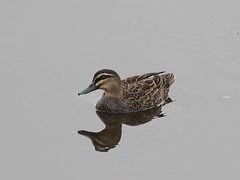 Pacific Black Duck at Ascot Waters