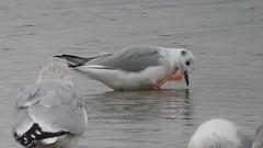 Bonaparte's Gull @ Alum Creek beach