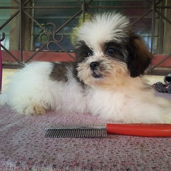 We will miss this sweet girl□ and we hope she will bring happiness to her forever home♥ #cute #shihpoo #puppy