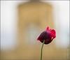 ROQ poppy