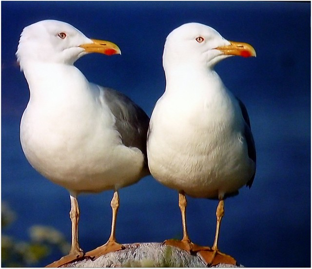 ~~ Sea Gulls ~~