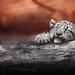 Lazyness | Schneeleopardkind - snowleopard cub (Panthera uncia)